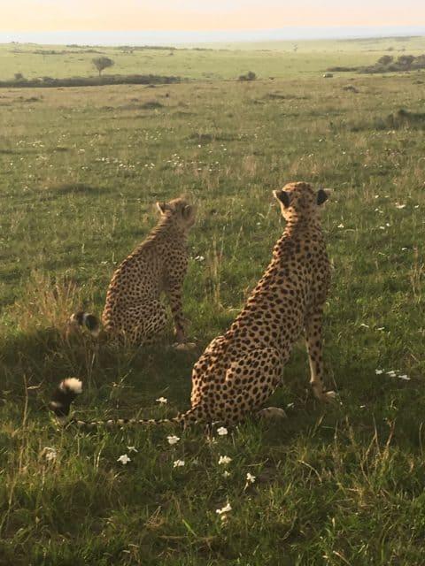 March 2017 Trip Maasai Mara Cheetas